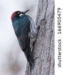 Small photo of Acorn Woodpecker (Melanerpes formicivorus)