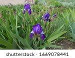Three Purple Flowers And Buds...