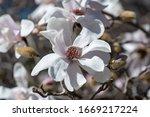 White Flowers Of The Loebner...