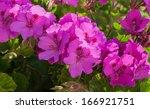 Beautiful Flower Geranium In...