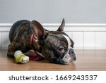 Boston Terrier Dog With Injury...