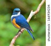Beautiful  Blue Bird  Male...