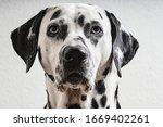 Dalmatian Dog Black White Blue