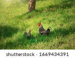 Chicken Couple Grazing Freely...