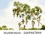 oropendola montezuma psarocolius yasuni nests national park oropendola hive in yasuni national park ecuador oropendola montezuma psarocolius yasuni nests national park colour brown animal amazon bird