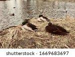 Three Ducks  Two Male Ducks And ...