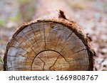 Chopped Eucalyptus Tree Wood...