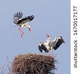 Beautiful white stork (Ciconia ciconia) in flight. European white storks fighting for the nest. Colorful wild bird background. Stork bringing branches to build the nest in Lugo, Galicia, Spain.  - stock photo