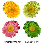 colorful  flowers of gerbera... | Shutterstock . vector #167004449