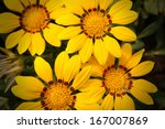 vivid yellow chrysanthemums... | Shutterstock . vector #167007869