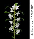 Dendrobium Nobile Orchid With...