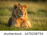 Male Lion Lying In Grass With...