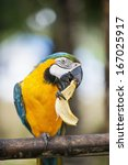 Blue And Yellow Macaw Eating...