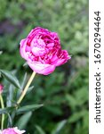 Small photo of Peony bud is bright pink. Macro photo. Red petals of a summer unresolved peony flower.