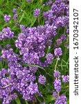 Beautiful Purple Flowers Of...