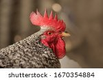 Motley Rooster On A Blurry...