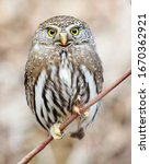 Northern Pygmy Owl looking for prey