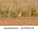 Small photo of beautiful Oriental Skylark (Alauda gulgula) standing on ground