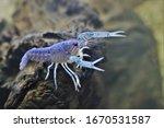 A Beautiful  Blue Crayfish ...