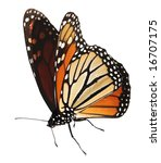 Stock photo alive monarch butterfly isolated on white clipping path 16707175