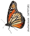 Stock photo alive monarch butterfly isolated on white clipping path 16707181