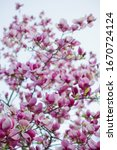 Blossom Magnolia Tree With Pink ...