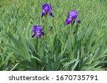 Vibrant Purple Flowers Of Three ...
