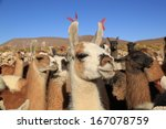 Lamas In Andes Mountains ...