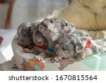 Small Blue Merle French Bulldog ...