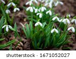 Flowers Snowdrops. First...