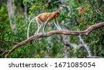 Proboscis Monkey  Female  On A...