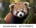 Red Panda Portrait With Green...