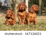 Irish Red Setter Puppies...