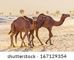 desert landscape with camel.... | Shutterstock . vector #167129354