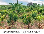 Planting Of Cocoa Plants In A...