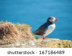 Puffin  Fratercula Arctica  On...