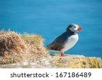 Puffin  Fratercula Arctica  On...