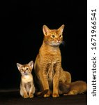 Red Abyssinian Domestic Cat ...