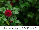 Roses In The Garden Over...