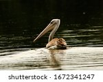 A Solitary Pink Backed Pelican...
