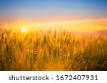 Golden Wheat Field With Sunset...
