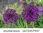 Two Allium Flowers   Purple...