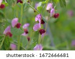 Pink Flowers Of Pea Plant