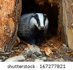 badgers in their natural habitat | Shutterstock . vector #167277821