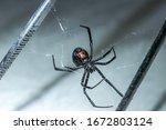 Black Widow Spider Up Close In...