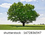 One Oak Tree Growing In A Field ...