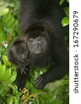 Small photo of Black-howler monkey, Alouatta pigra, single mammal with baby in tree, Belize