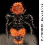 Velvet Ant Macro Specimen ...
