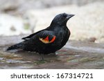 Small photo of Male Red-winged Blackbird (Agelaius phoenicius) Bathing in a Shallow Pond