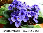 Beautiful Violet In A Pot On...